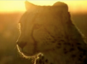 canion-cheetah