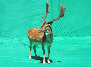 Union-Pictures-Fallow-Deer
