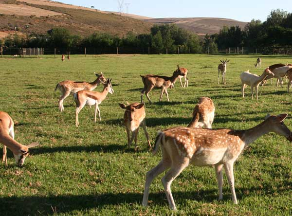 Union-Pictures-Springbok-Fallow-deer