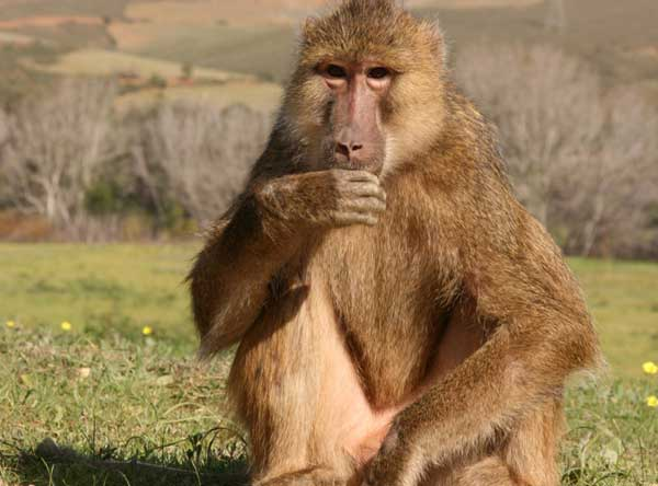 Union_Pictures_Baboon_01