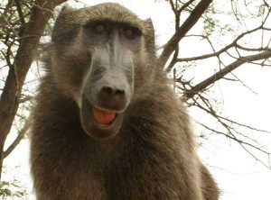 Union_Pictures_Baboon_04