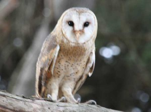 Union_Pictures_Barn_Owl