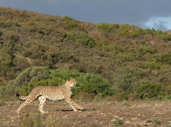 Union_Pictures_CHeetah_06