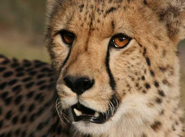 Union_Pictures_Cheetah_01