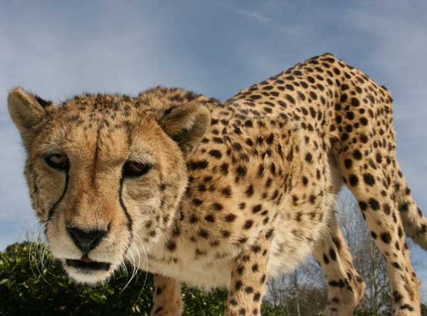 Union_Pictures_Cheetah_02
