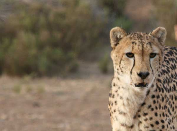Union_Pictures_Cheetah_03