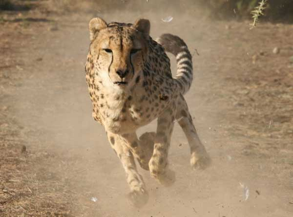 Union_Pictures_Cheetah_05