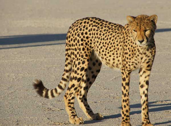 Union_Pictures_Cheetah_10