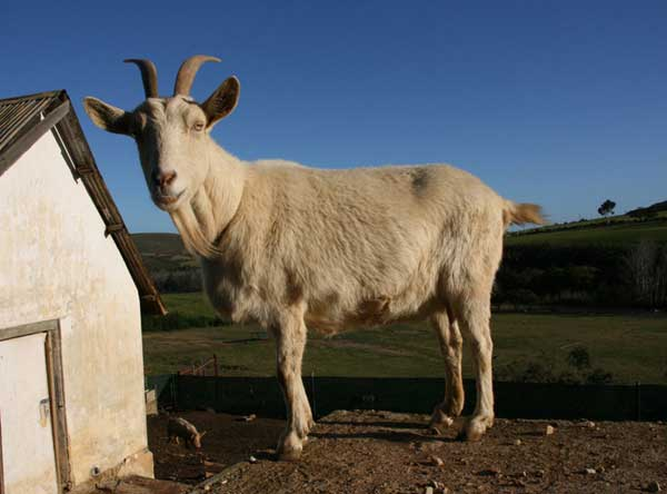 Union_Pictures_Goat