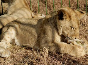 Union_Pictures_Lion_Cub_05