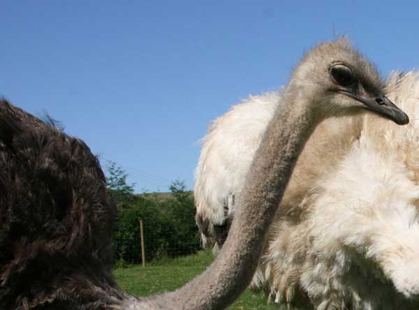 Union_Pictures_Ostrich_04