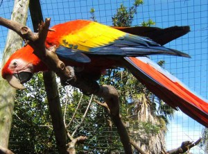 Union_Pictures_Red_Macaw