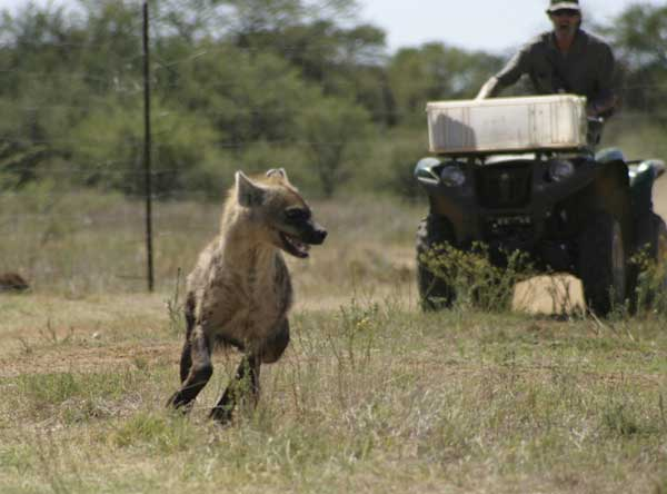 Union_Pictures_Spotted_Hyena_02