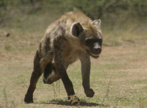 Union_Pictures_Spotted_Hyena_05