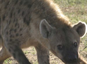 Union_Pictures_Spotted_Hyena_07