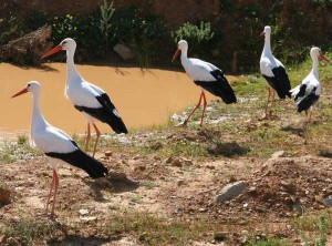 Union_Pictures_White_Stork_03