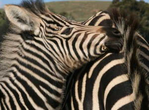 Union_Pictures_Zebra_01