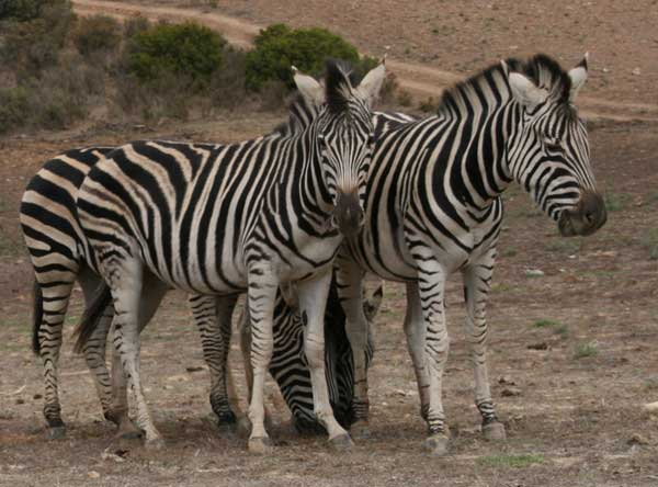 Union_Pictures_Zebra_08