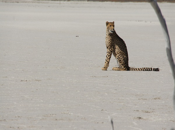 cheetah on saltpan