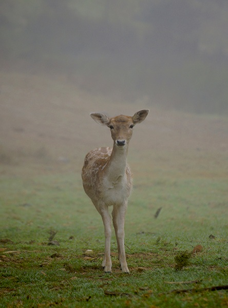 fallow deer in front of mist